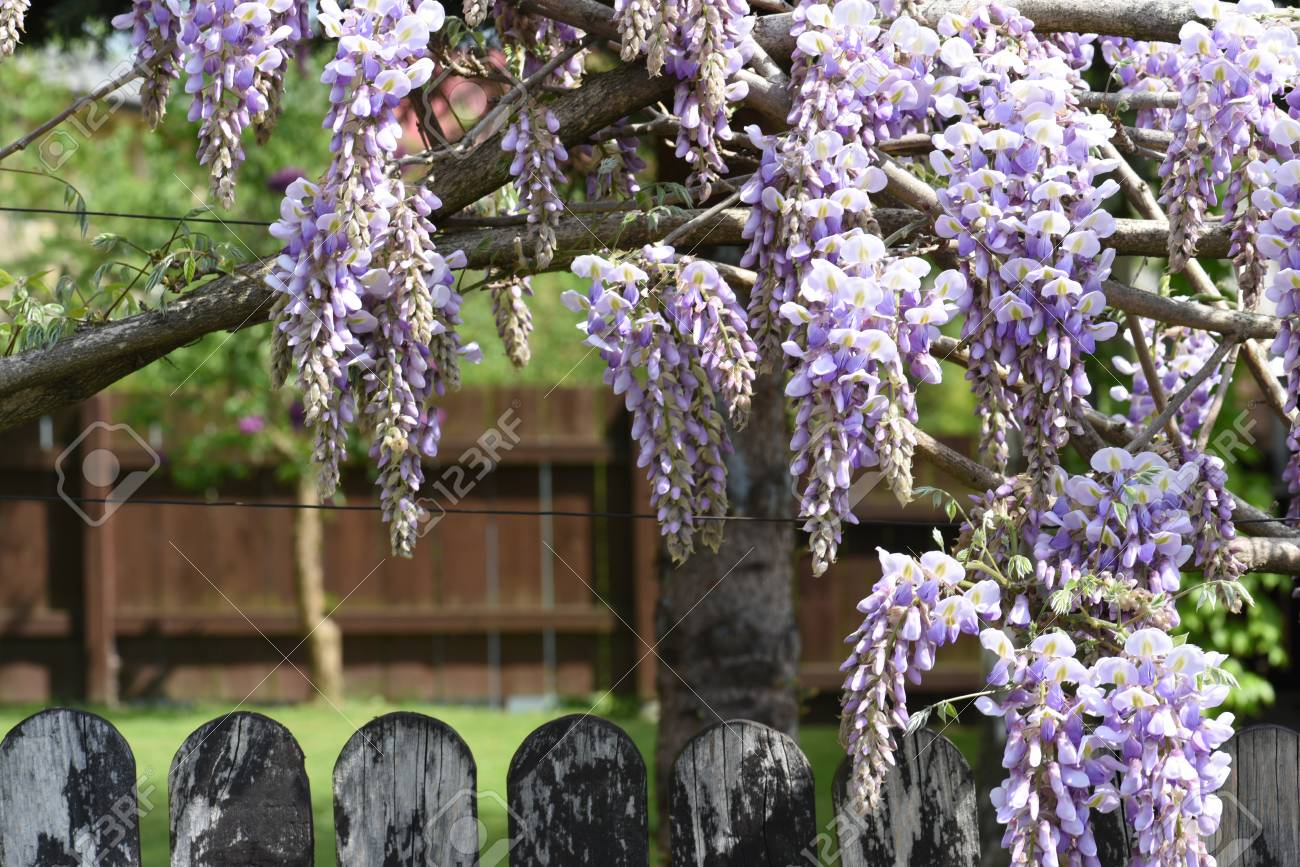 Blooming Wisteria Flowers Over Wood Fence With Garden In