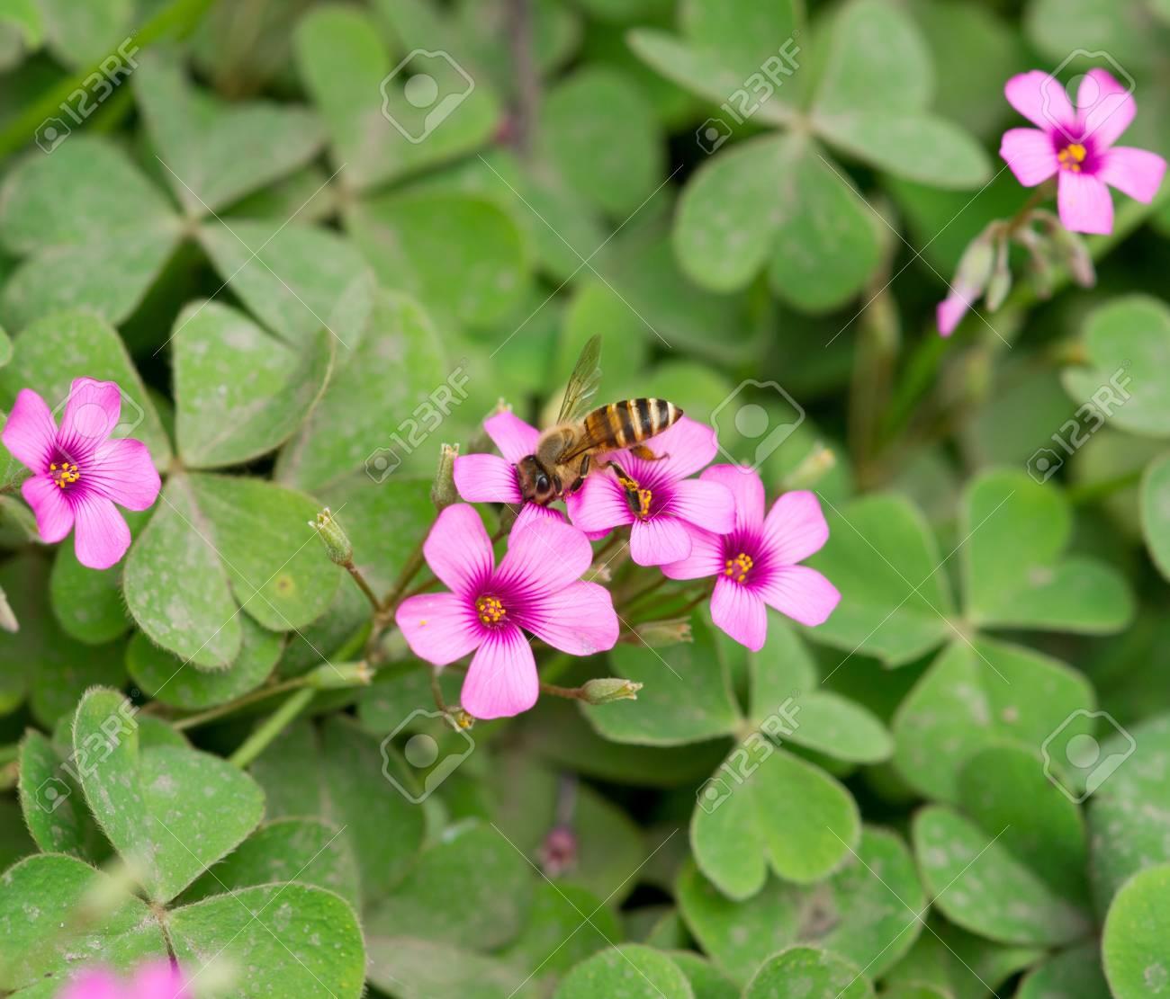 oxalis flower and bee Stock Photo - 13532894