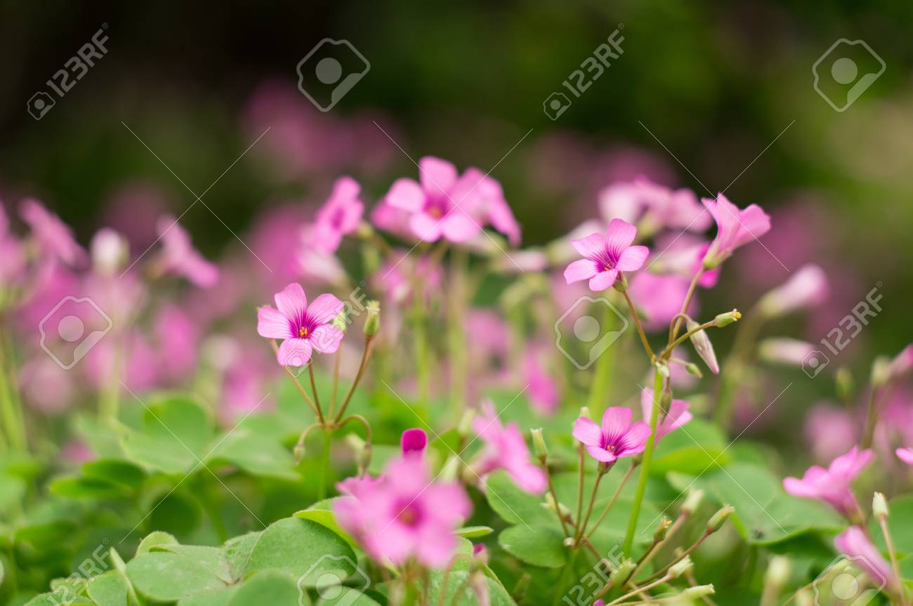 oxalis blooming Stock Photo - 19467467