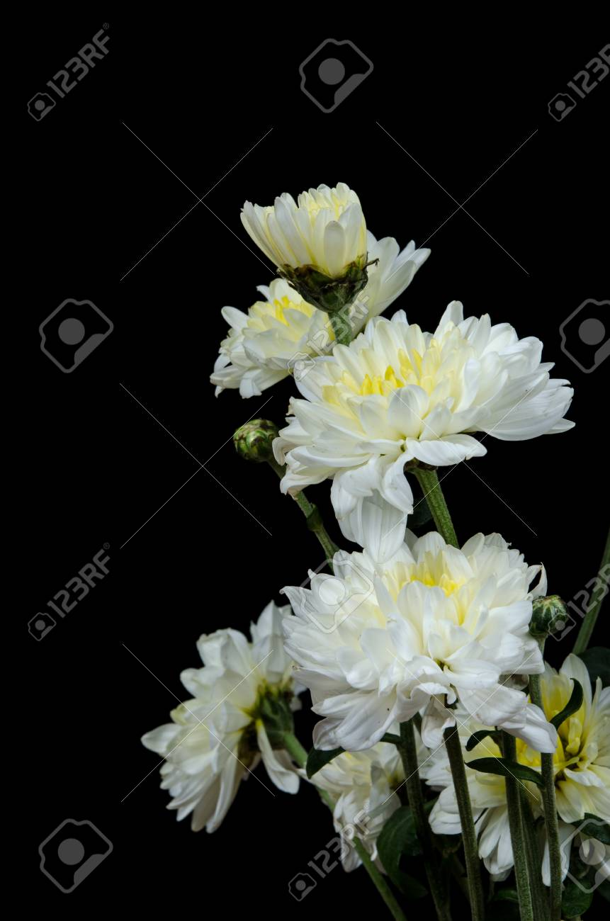 White Chrysanthemum Flowers On Black Background Stock Photo Picture