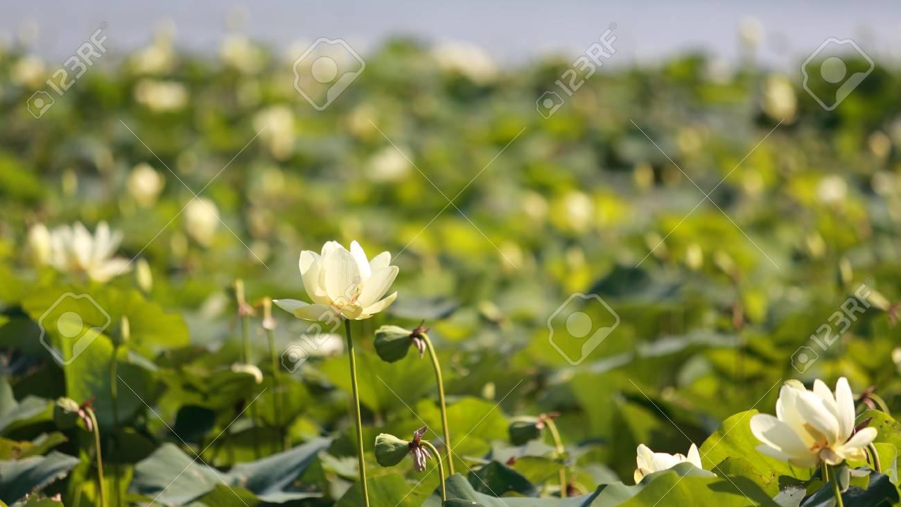 American Lotus At Wapello State Park Iowa Shallow Depth Of Stock