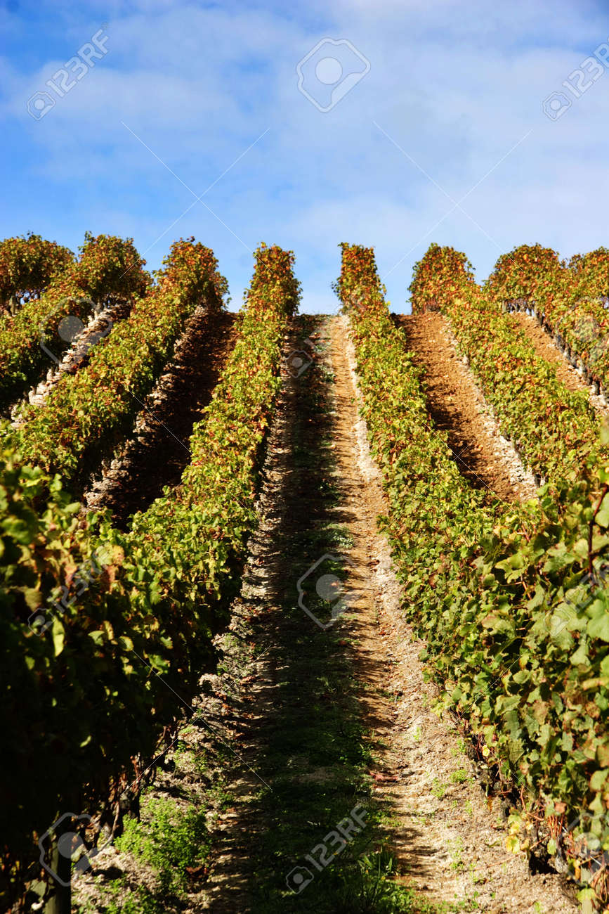 grape vines at vineyard on a clear day - portrait Stock Photo - 1148983