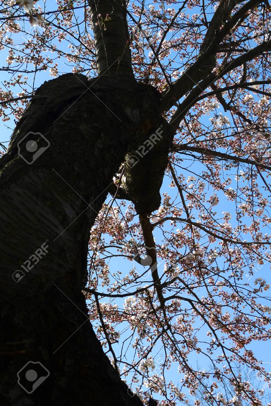 Japanese cherry blossoms in High Park, Toronto, Canada Stock Photo - 13093815