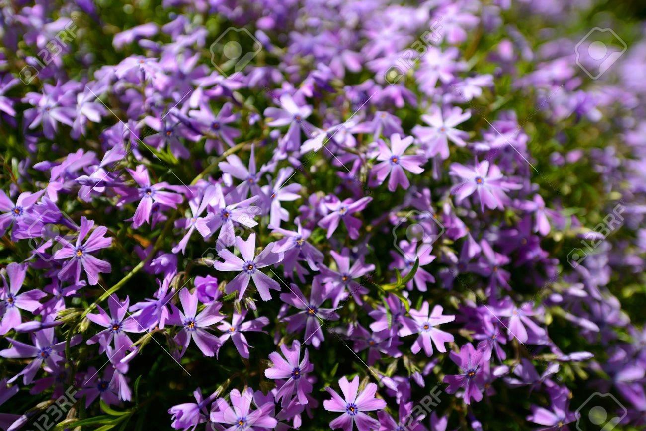 Arbustes A Fleurs Violettes Au Printemps Banque D Images Et Photos