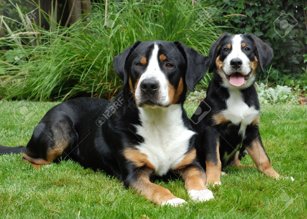 Greater Swiss Mountain Dog Adlut And Puppy Outdoor Portrait
