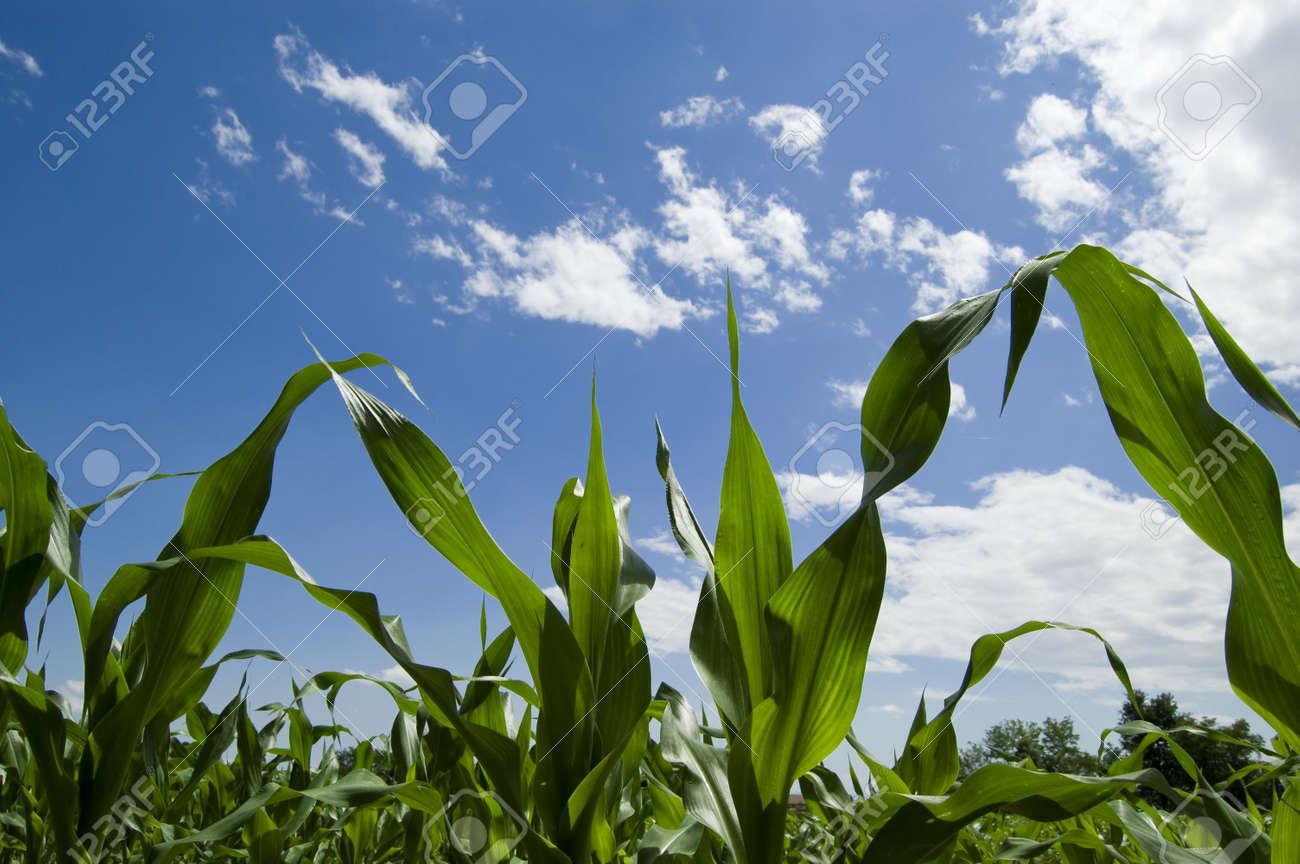 A field of grain Stock Photo - 5340864