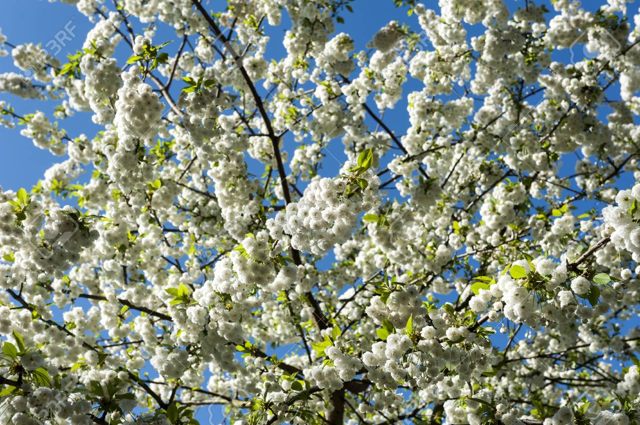 Branch Of A Blossoming Tree With Beautiful White Flowers Stock Photo
