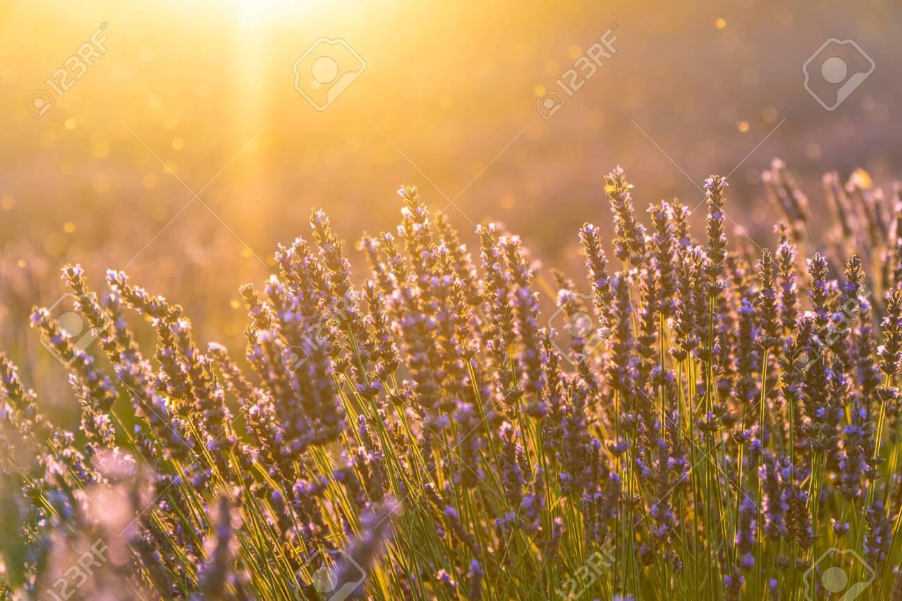 Closeup lavender field summer sunset landscape near Valensole, Provence, France - 128013286