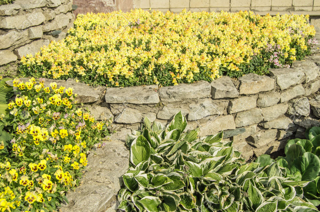 Yellow mattiola and pansies, hosta, in a flower bed, in an open garden with grass on a sunny summer day - 169661615