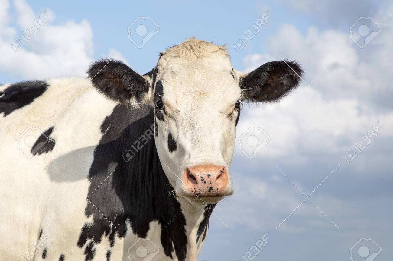 Mature, adult black and white cow, gentle look, pink nose, in front of a blue sky with clouds. - 144603293