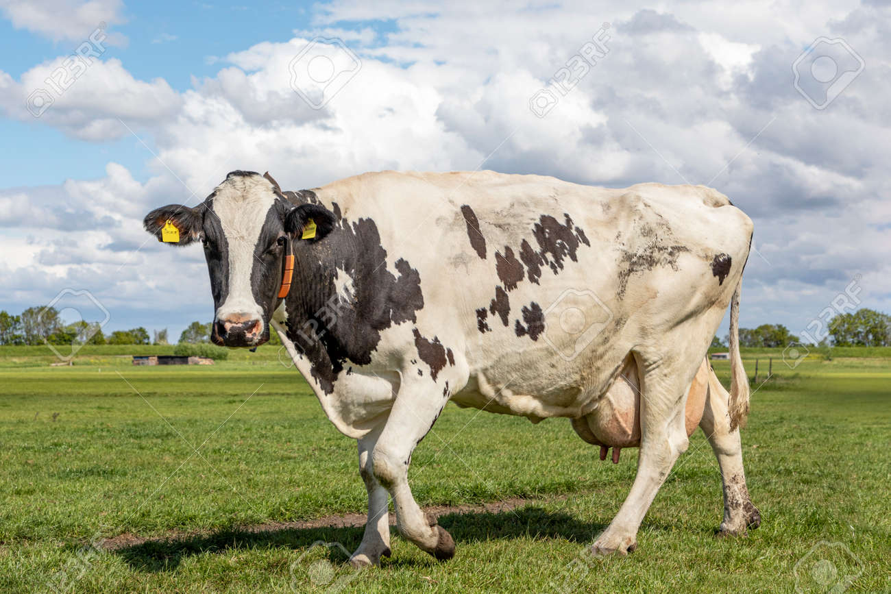 One black and white cow, friesian holstein, walking towards in a pasture under a blue cloudy sky and a horizon over land - 169229734