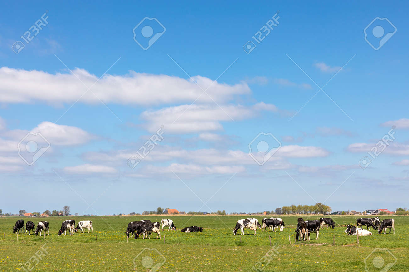 Cows in landscape grazing in the pasture, peaceful and sunny in flat land with clouds on the horizon, wide view of herd in field, a wide view with dairy livestock - 169229816