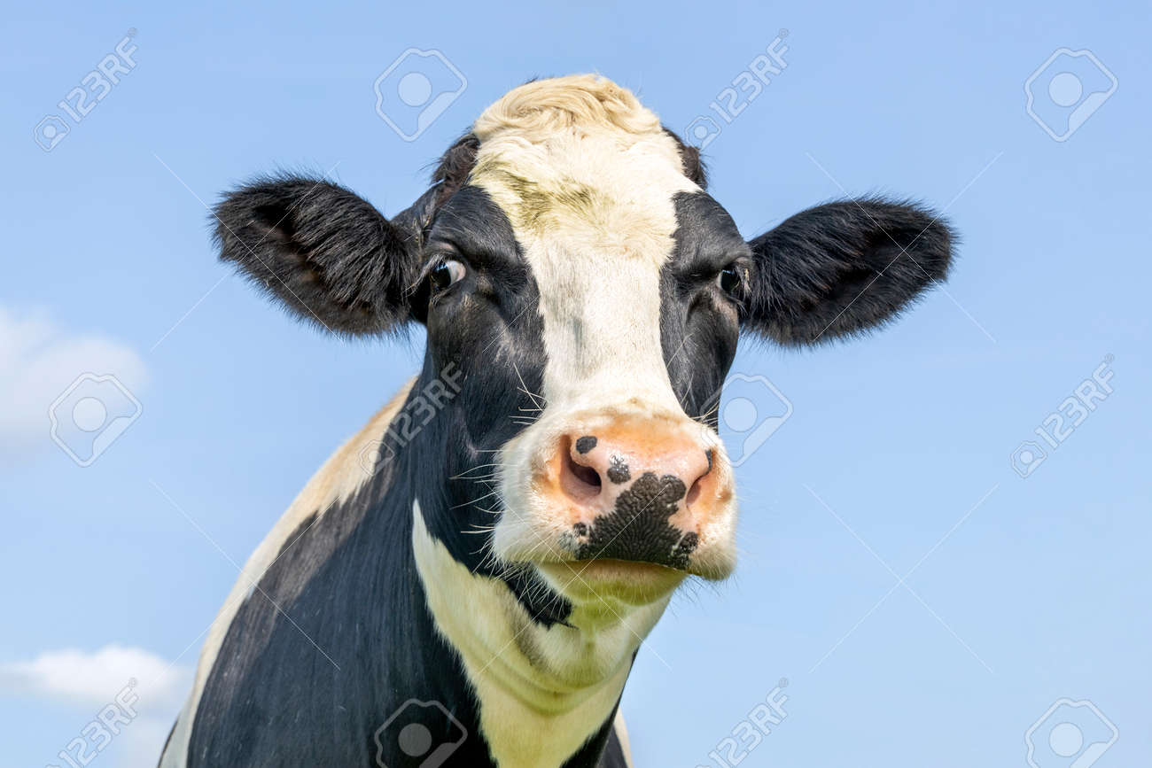Silly funny cow head, squinted friendly looking, black and white, pink nose and in front of a blue sky. - 169229819