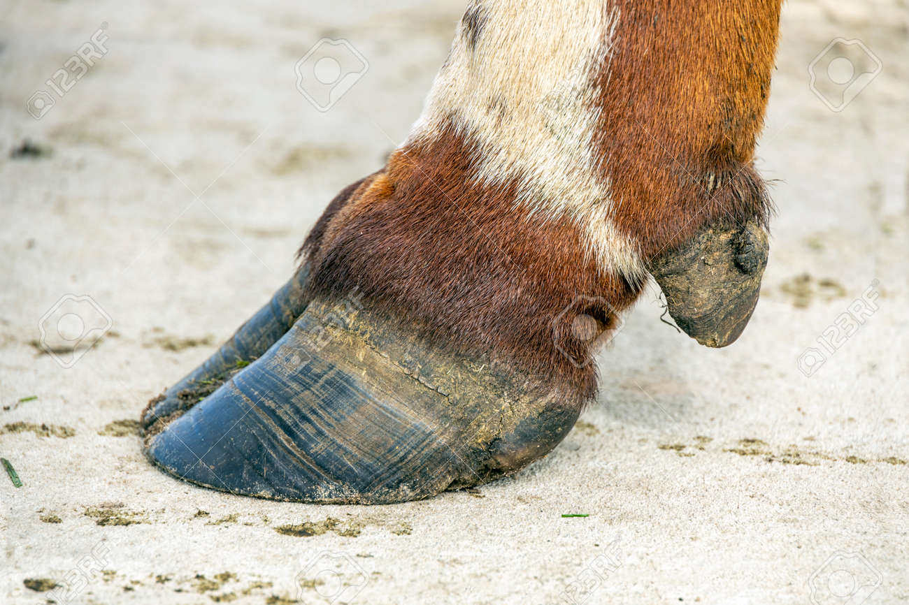Hoof of a cow close up standing on a concrete path, black nail, brown and white coat - 169229822