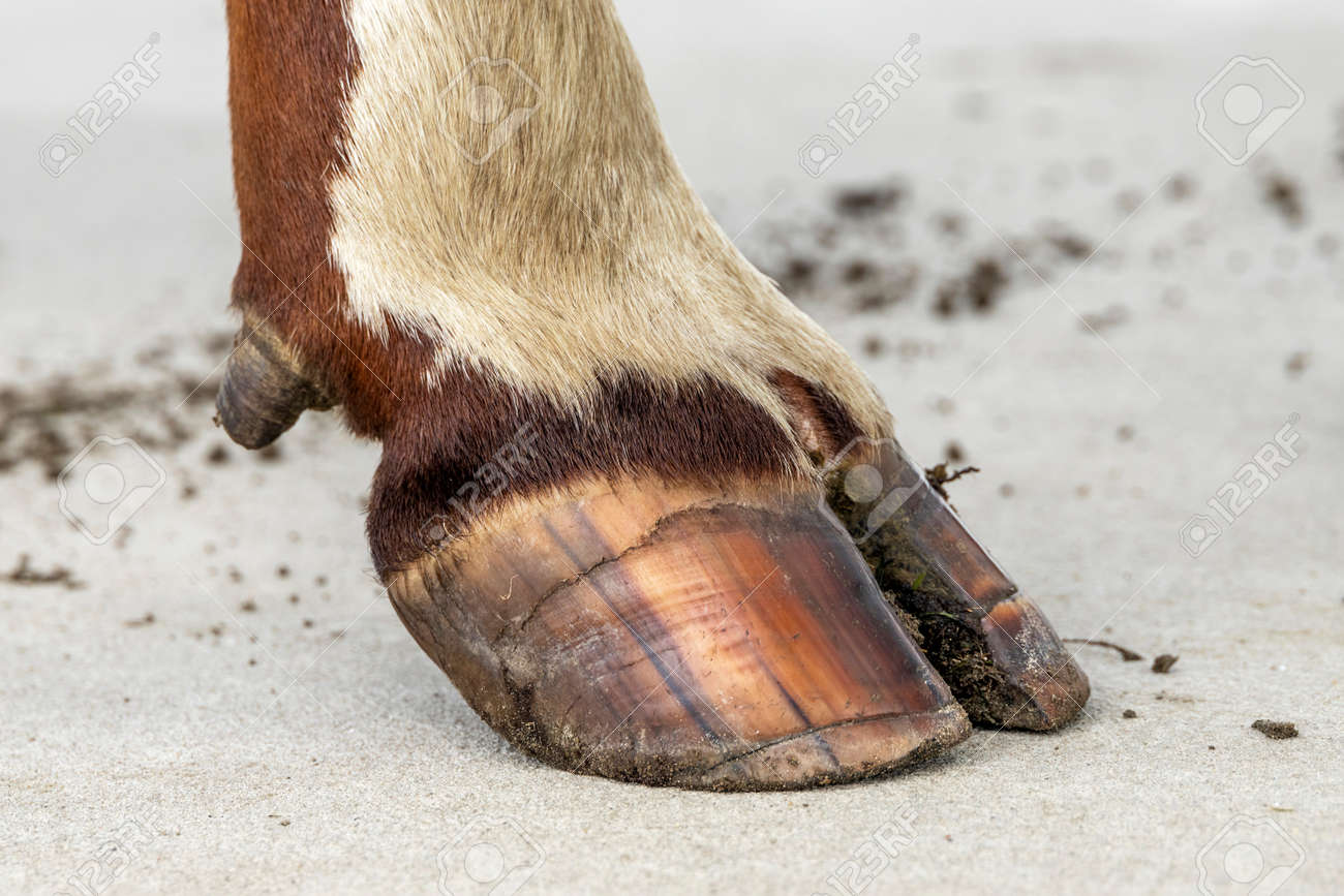 Hoof of a dairy cow standing on a concrete path, red and white fur - 169229834
