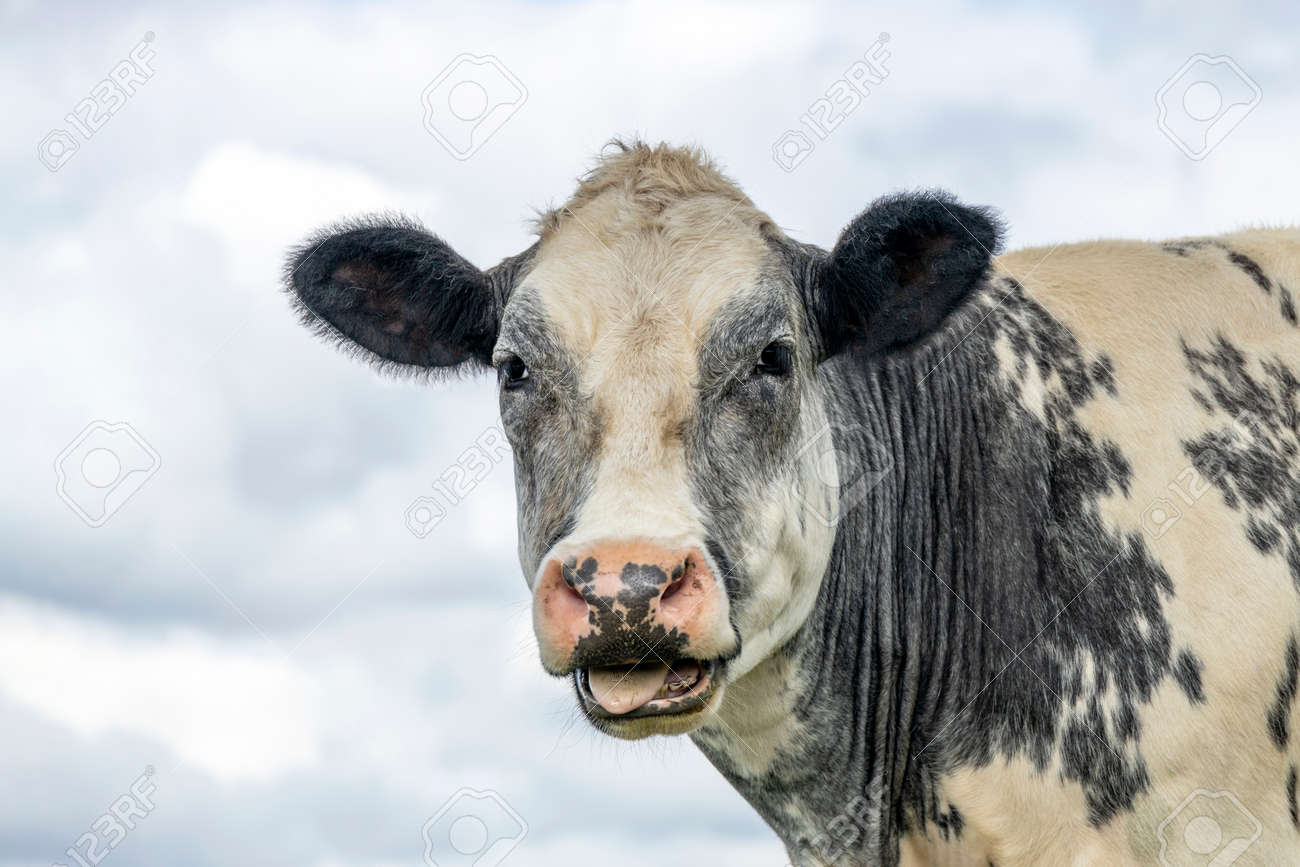 Cute cow licking her lips with her tongue far out and a cloudy sky background - 169229835