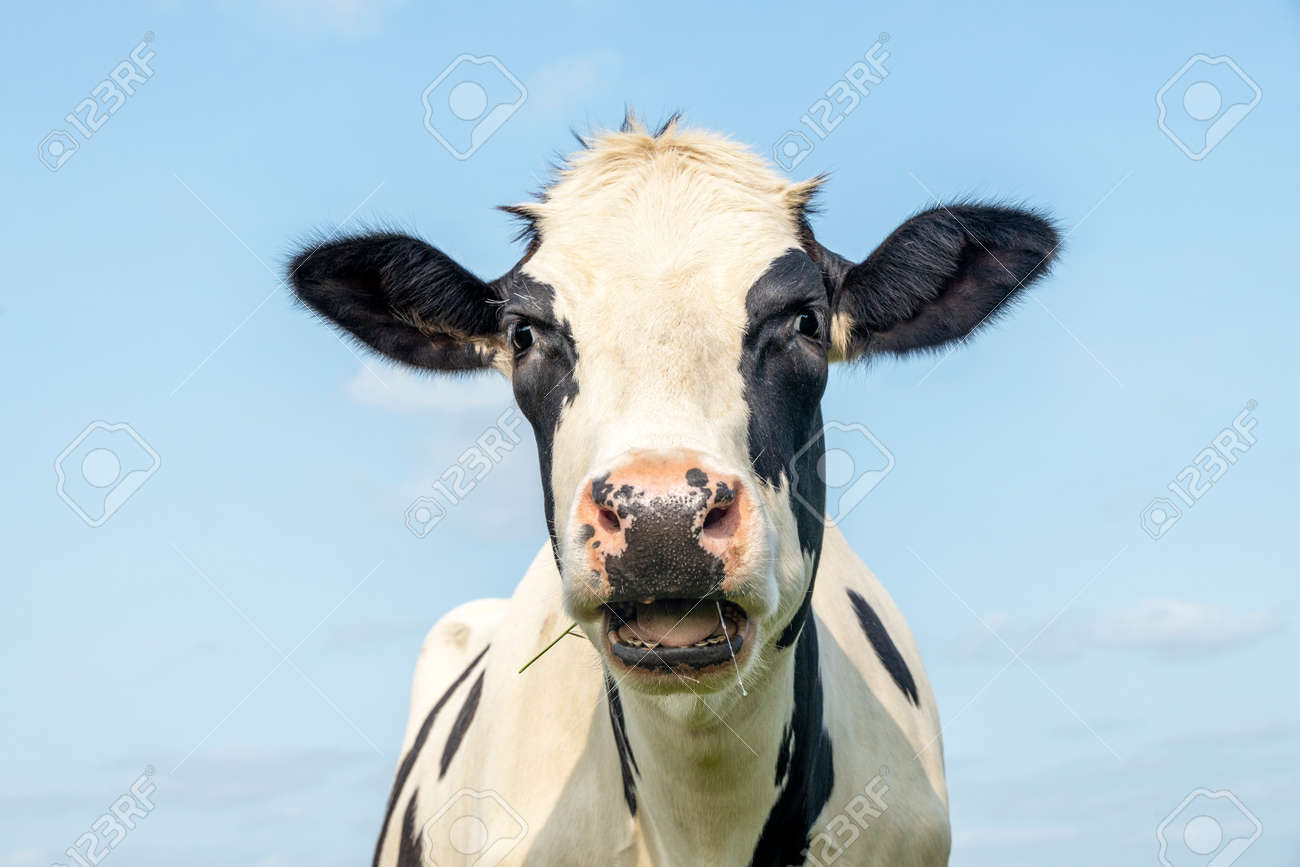 Funny cow, calling indignant, black and white pink nose and in front of a blue sky, head with mouth open drooling and heckling - 169229842