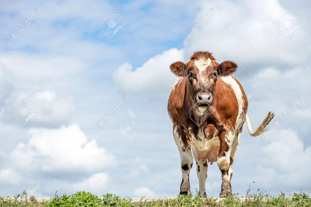 Cow dual purpose, dairy and beef in the Netherlands, enthusiast and merry swinging tail, standing on green grass at the background a blue sky. - 169229845