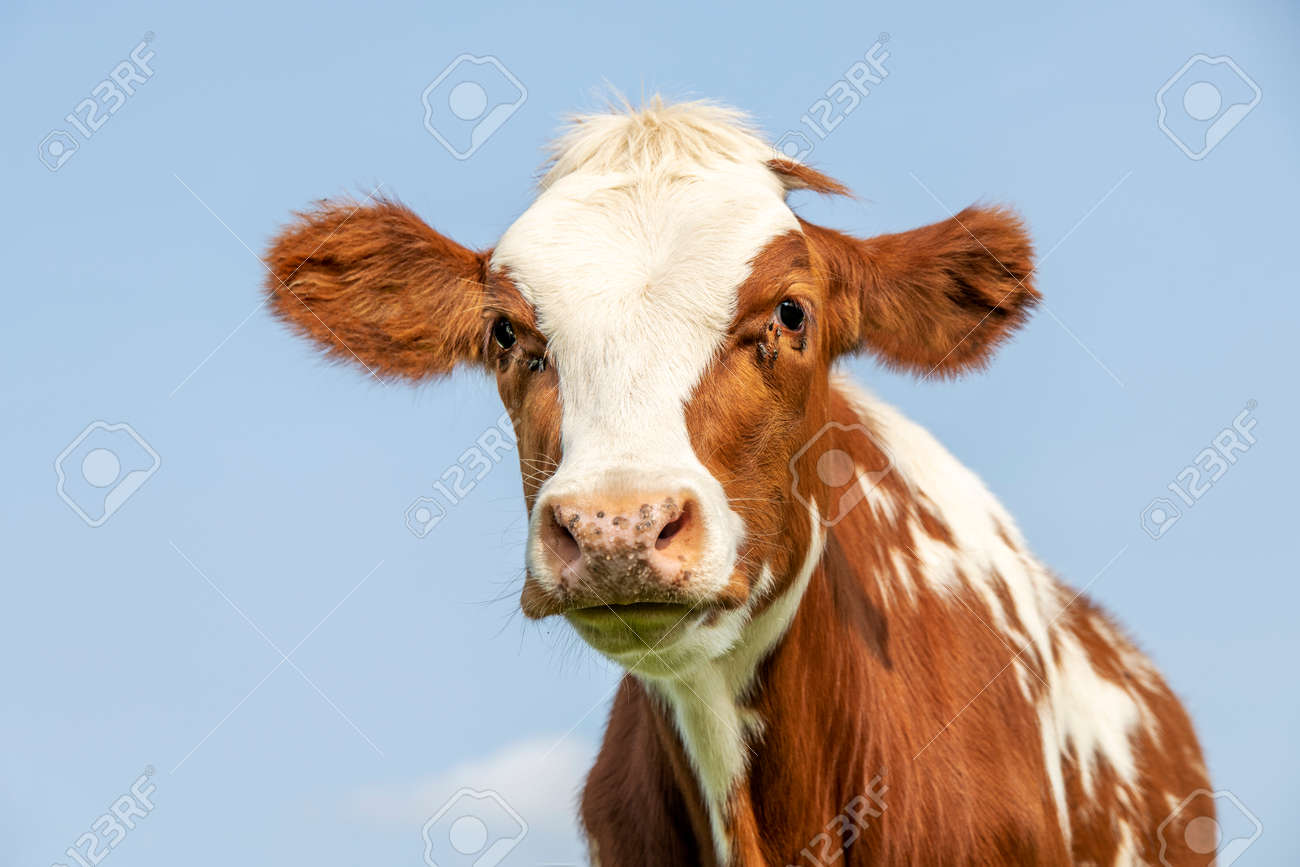 Cow portrait with flies, a cute and calm red bovine, with white blaze, pink nose, friendly and calm expression, adorable furry - 169229850