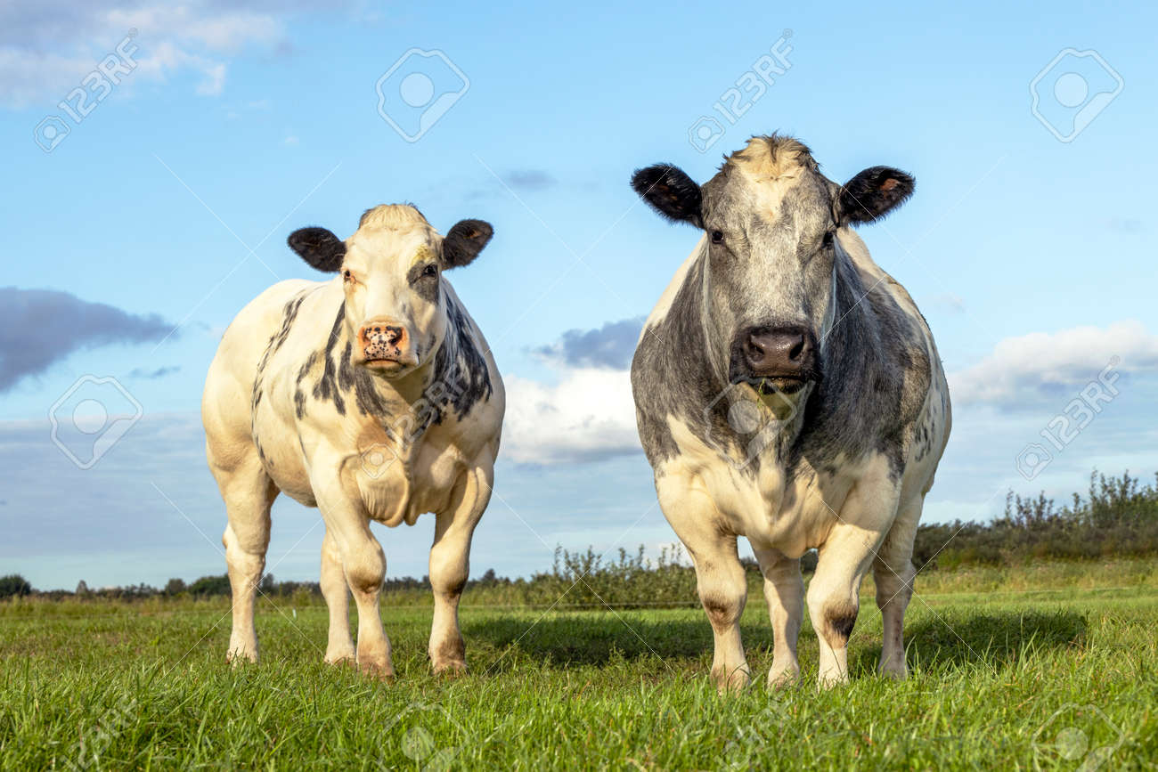 Two white beef cows, meat cattle looking and standing upright side by side together in a field - 169229870