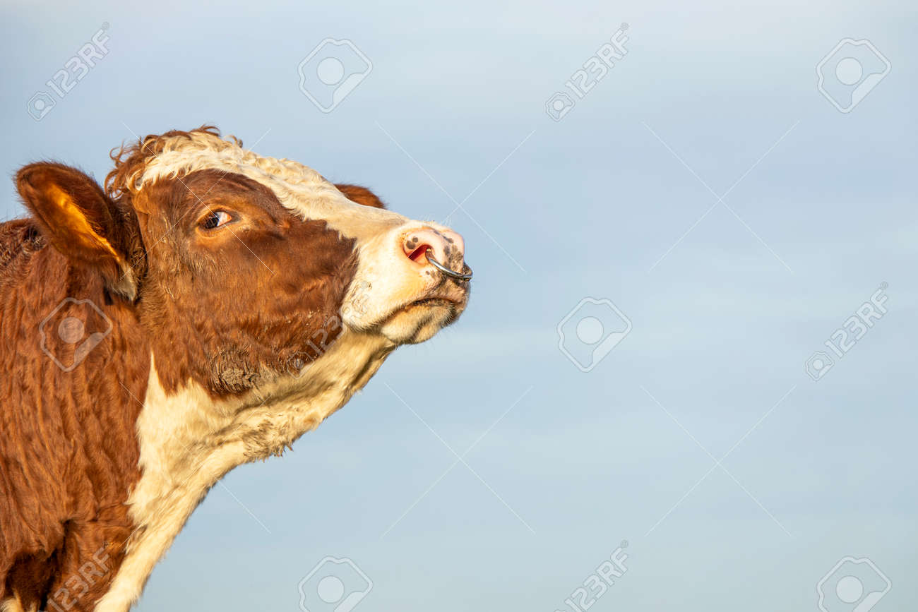 Bull head with nose ring, mighty looking profil, tender friendly expression - 169229873