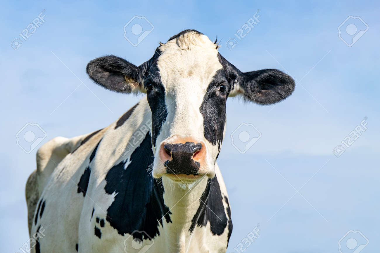 Cow head front view, portrait of a calm bovine, friendly looking, medium shot of a black-and-white cow and a blue sky. - 169229882
