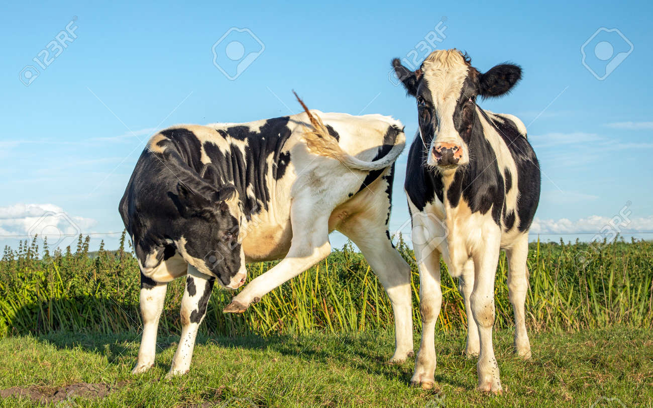 Two black and white cows, frisian holstein, one cow with an itch licking raised hind leg, both standing in a pasture under a blue sky and a straight horizon. - 169481654