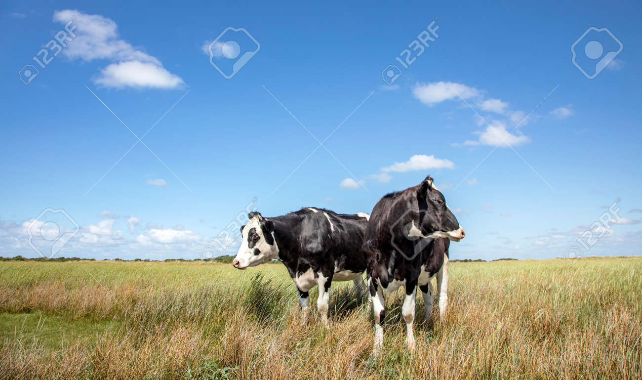 Two black and white cows standing upright, heads turned backwards in the salt marshes under a blue sky at Schiermonnikoog, Netherlands - 169481660