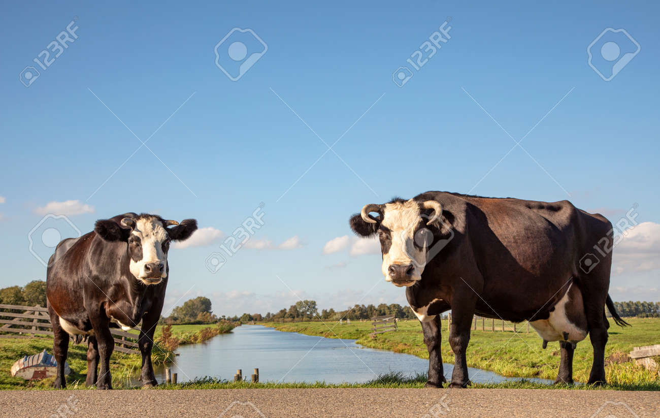 Two black and white cows, fleckvieh blaarkop, standing next to a ditch, under a blue sky and a faraway straight horizon. - 169481670
