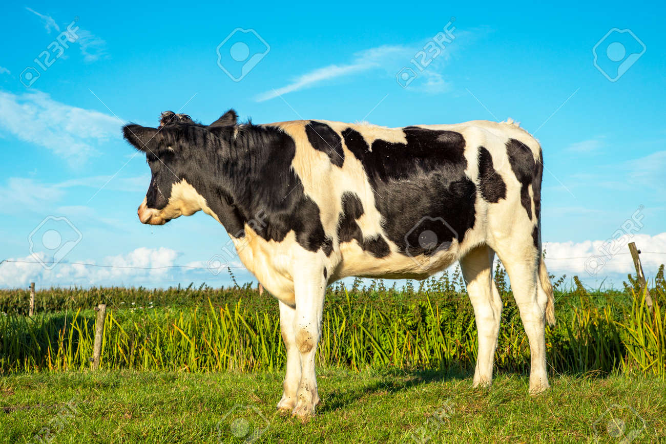 Young cow looks away, stands dreamily in green meadows overlooks the fields - 169481677