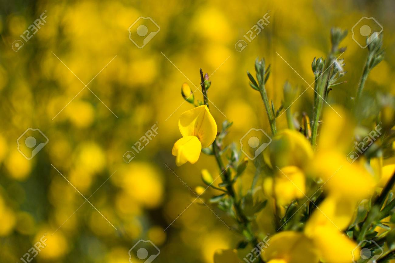 Vivid Yellow Broom In Flower Stock Photo Picture And Royalty Free