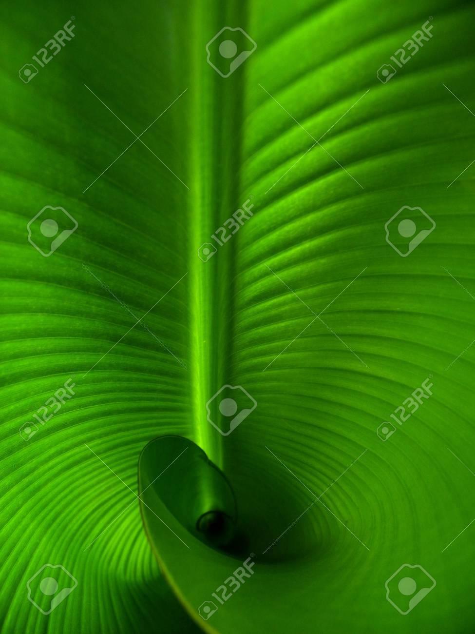 Banana leaf Standard-Bild - 12581917