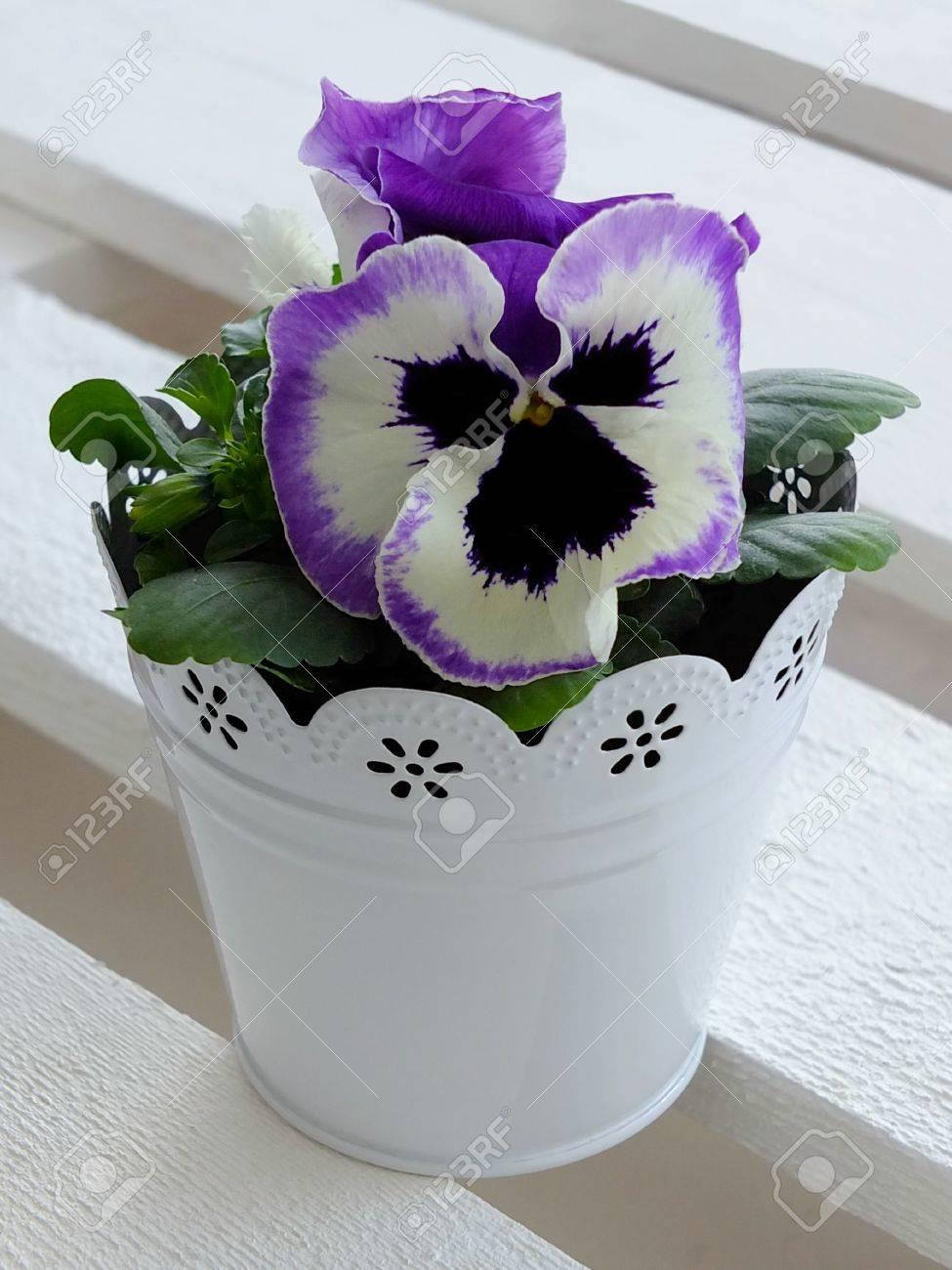pansies in a flower pot Standard-Bild - 27505894