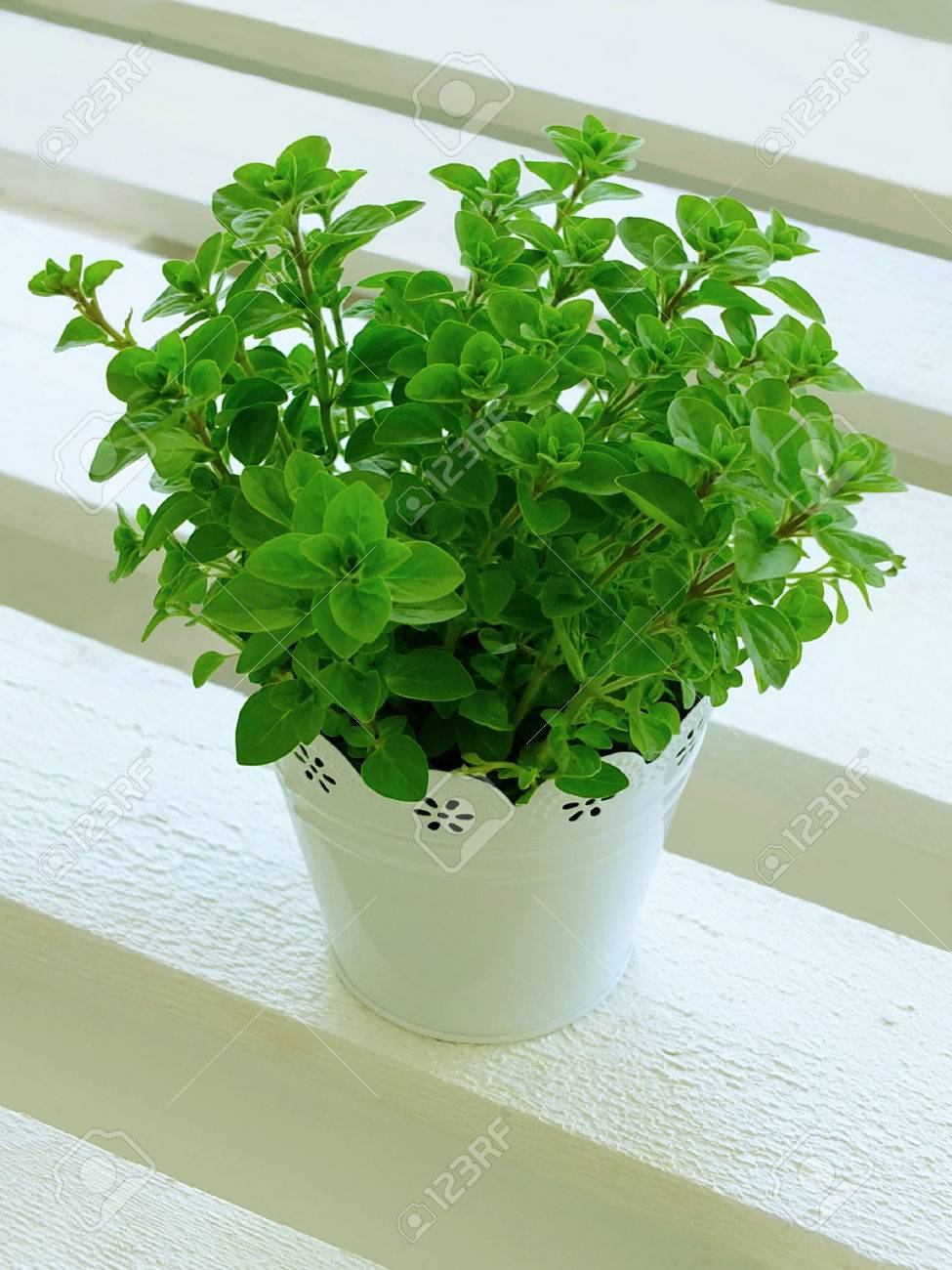 oregano plant in pot Standard-Bild - 27504558