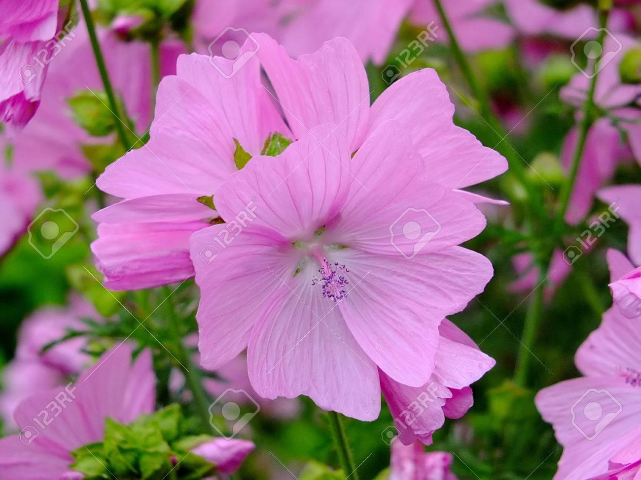 Image of blooming mallow Standard-Bild - 34930702