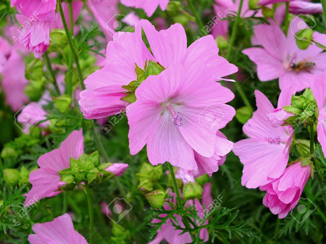 Image of blooming mallow Standard-Bild - 34930703