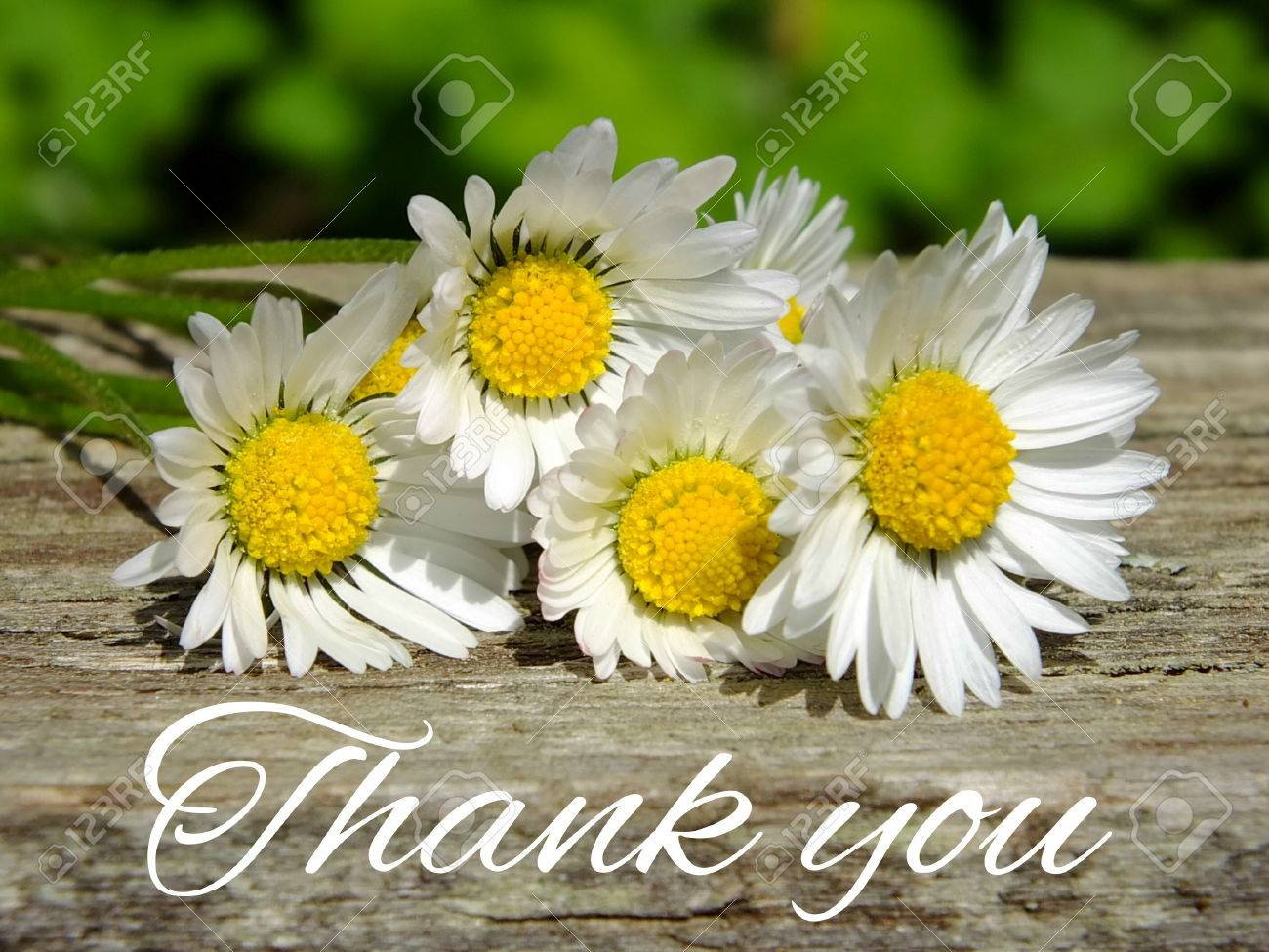 Image of daisies with lettering thank you Standard-Bild - 35143391