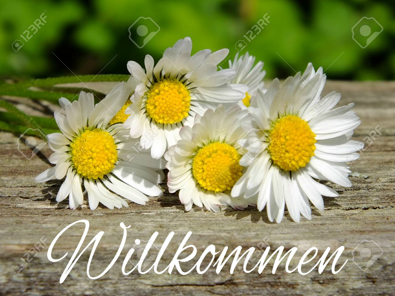 Image of daisies with German lettering Standard-Bild - 35059449