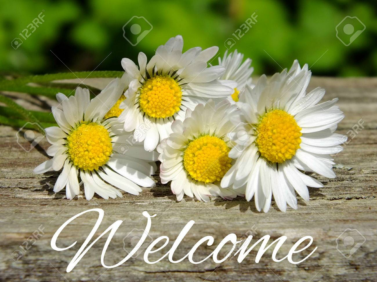 Image of daisies with lettering welcome Standard-Bild - 35059451