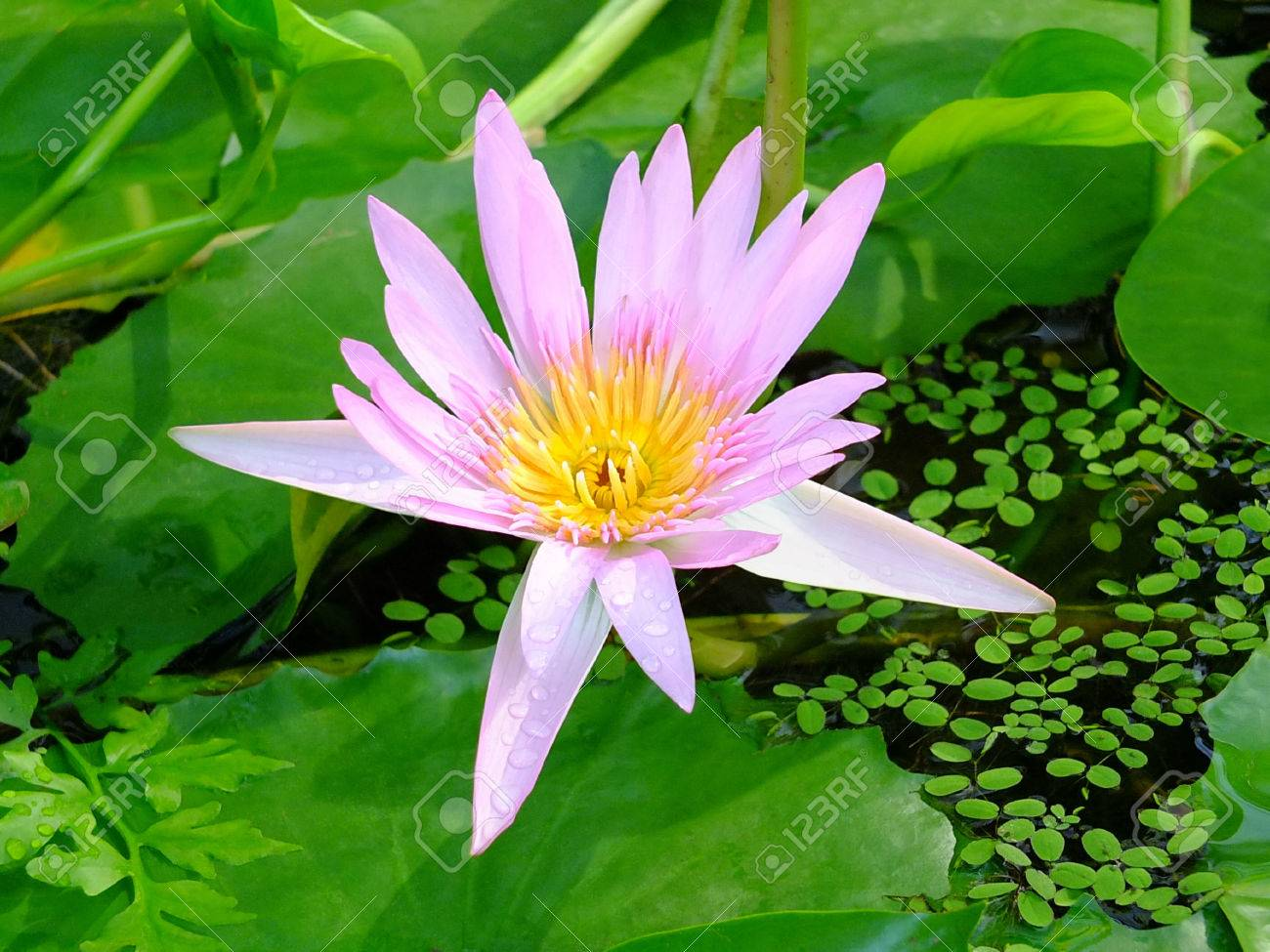 Image of a waterlily on the lake Standard-Bild - 35714446
