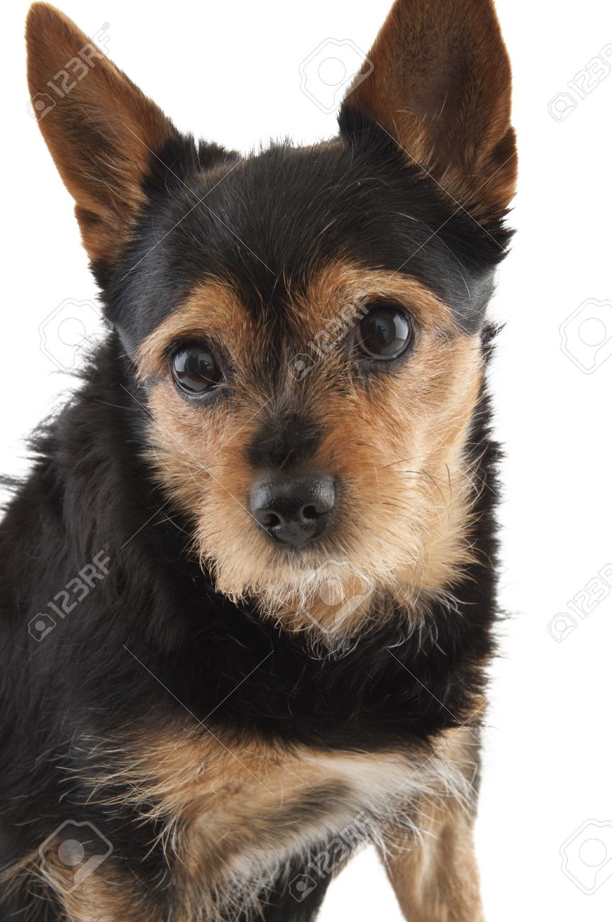 Molly the dog, mongrel, chiwawa, dwarf pincher, brown and black colors, big eyes Stock Photo - 14475305