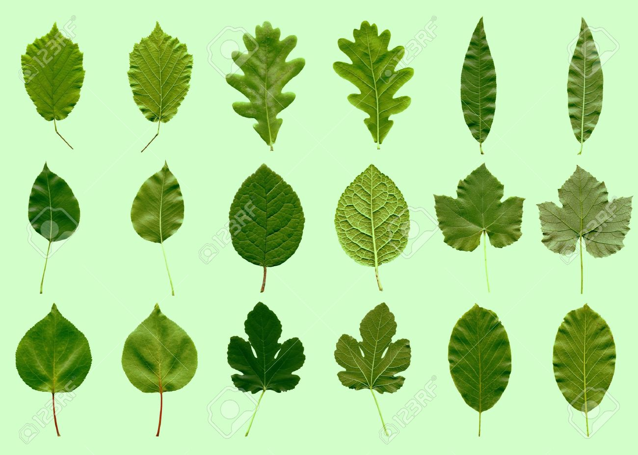 Tree leaves collage - front and back - over green Stock Photo - 8549258