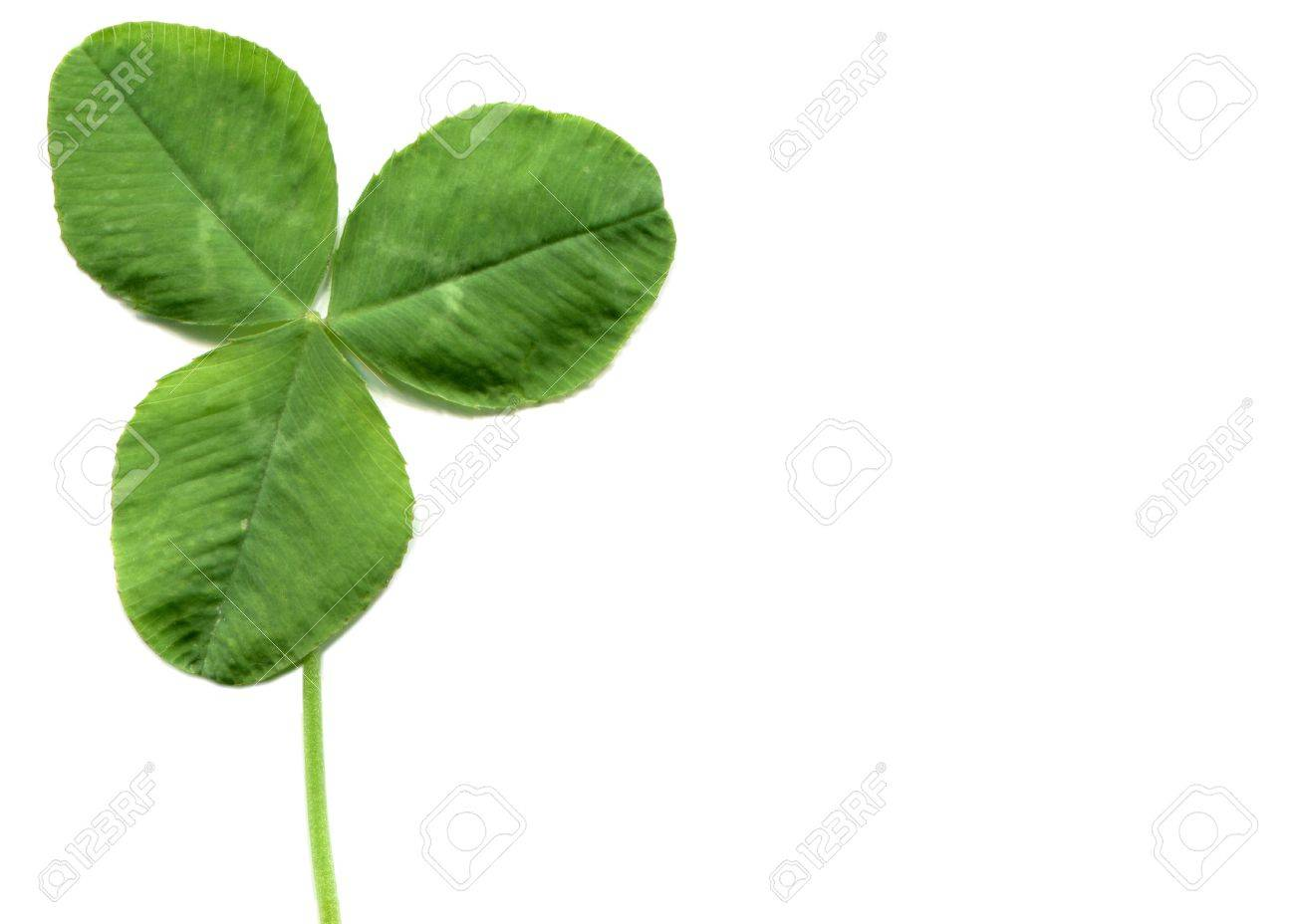 Shamrock Three Leafed Clover Trifolium Plant Over A White