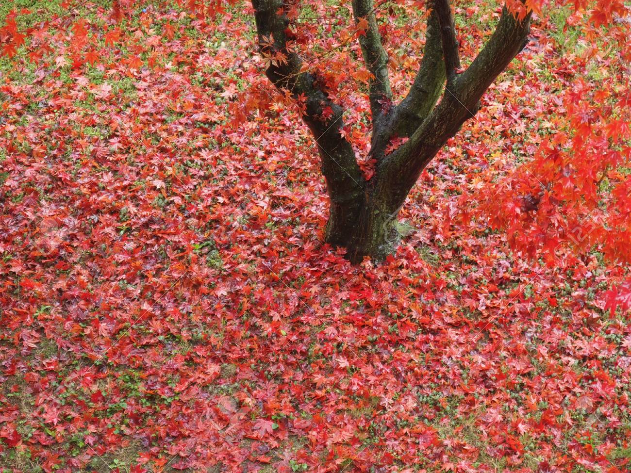 Detail of Canadian red acer maple tree leaves in autumn Stock Photo - 24068295