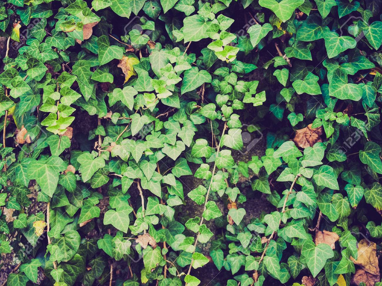 Vintage Looking Green Ivy Plants Useful As A Background Stock Photo Picture And Royalty Free Image Image 27204622