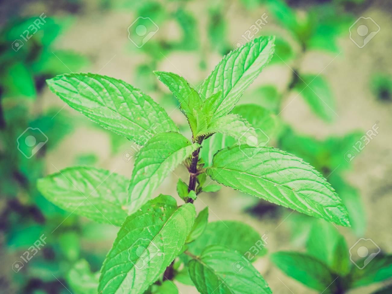 Mentha Piperita History Plant Aka Mentha Piperita