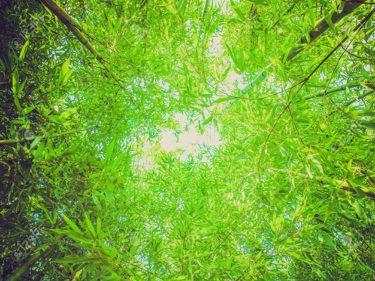 Vintage Looking Bamboo Plants Forest Aka Plantae Angiosperms