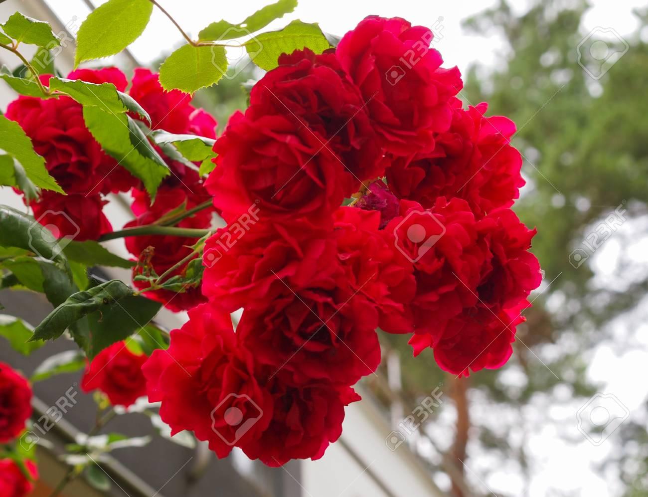 Rose Vigne Vivace Arbuste A Fleurs Du Genre Rosa Rosaceae Banque D