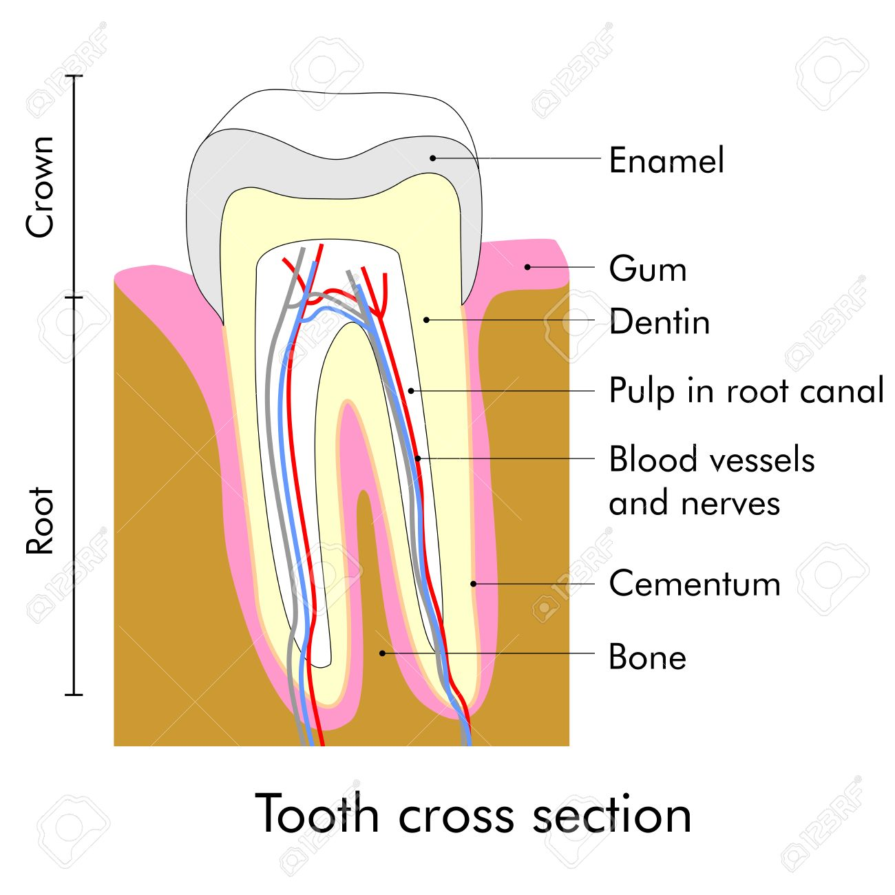 Tooth Cross Section Showing Teeth Anatomy Stock Photo, Picture And ...