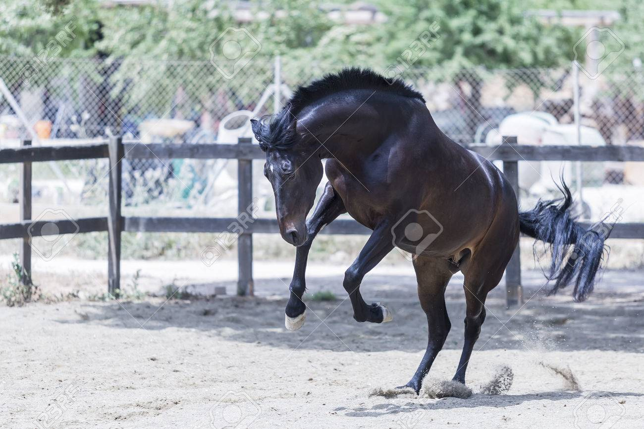 Wild Brown Horse Jumping On A Dressage Session At The Byre Stock Photo Picture And Royalty Free Image Image 44927973